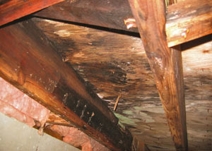 Extensive crawl space rot damage growing in Carnelian Bay