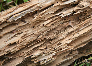 Termite-damaged wood showing rotting galleries outside of a Homewood home
